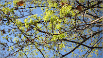 Photo: Arțar, Paltin de câmp (Acer platanoides) - 2017.03.27