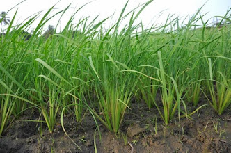 Photo: SRI rice plants in Zubah Town, Paynesvilles, Monrovia-Liberia. (Photo by Erika Styger, Feb 2014)