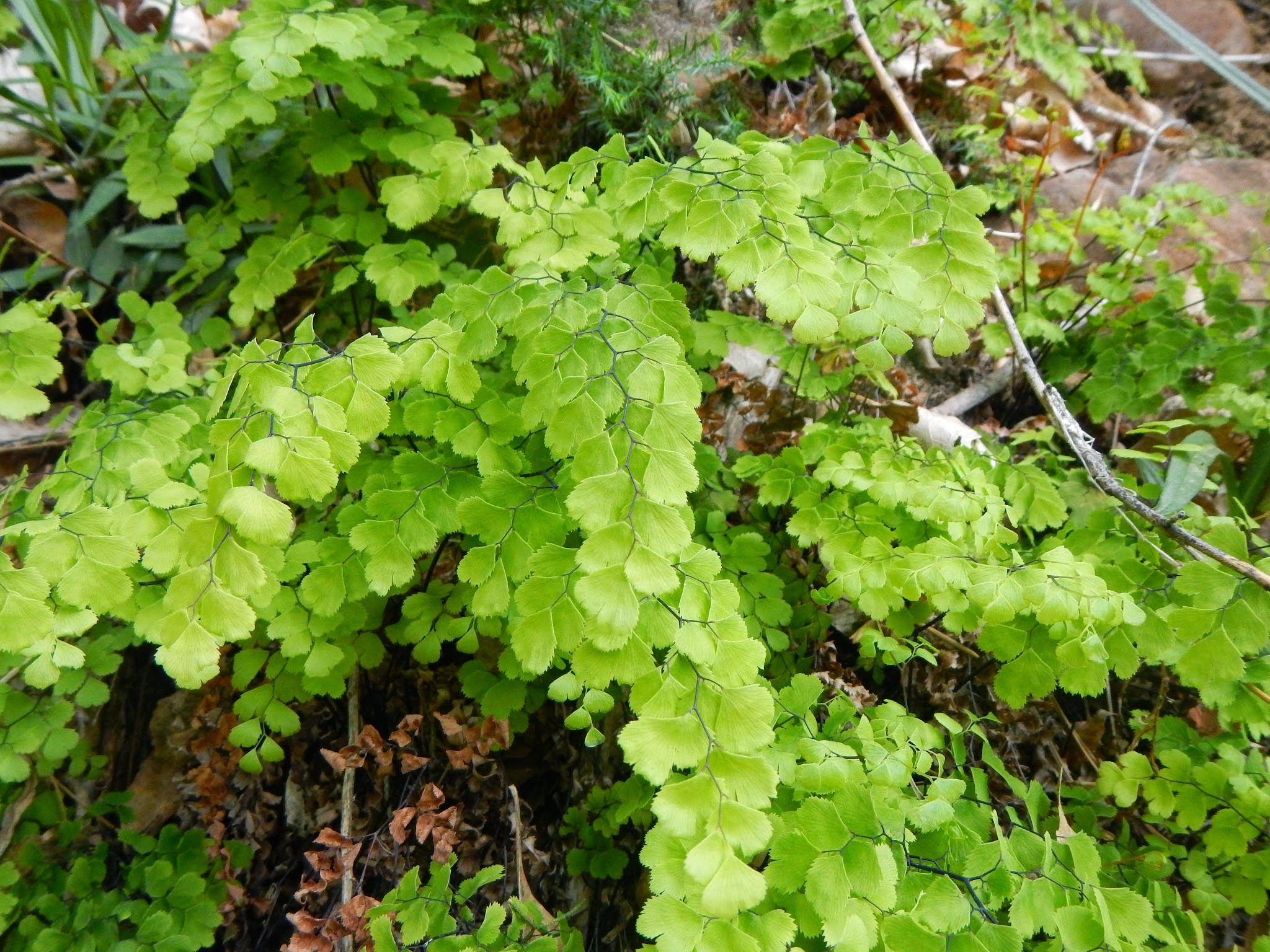 Photo: The maidenhair fern in Oregon doesn't quite look like this.
