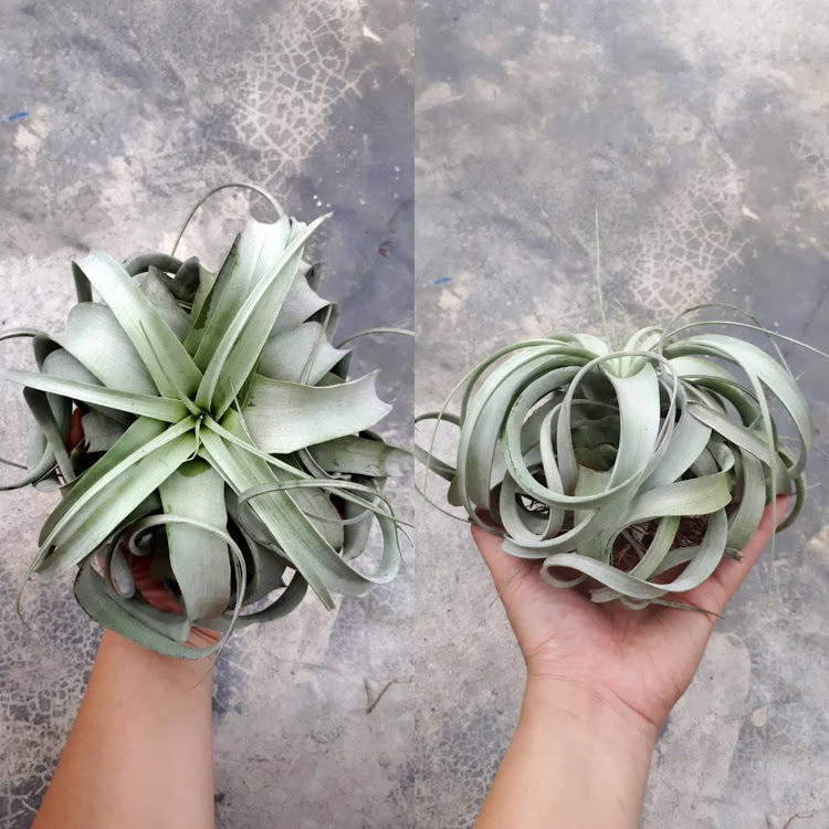 Tillandsia Xerographica 6inch by AquaticsForevers Enterprise