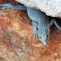 Dalmatian rock lizard