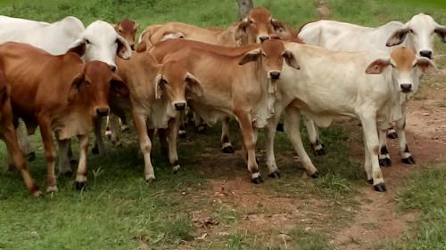 Northern Territory Small Beef Farm