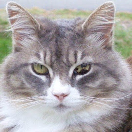 Cheyenne by Brianna Janke - Animals - Cats Portraits