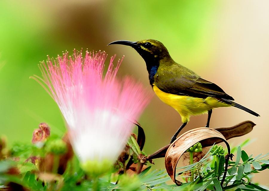 Olive-backed Sunbird by Iwan Hunowu - Animals Birds ( bird, sunbird, burung, sulawesi, nectarinia jugularis, flower, burung madu sriganti )