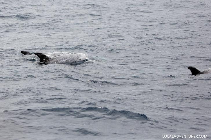 Risso Dolphin - San Diego Sightseeing.