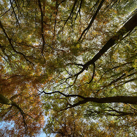 Looking Up by Marco Bertamé - Nature Up Close Trees & Bushes ( forest, fall, leaves, looking up, autumn, trees, from below )