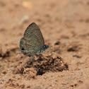 Common Lineblue (male)