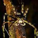 Giant tree trunk huntsman