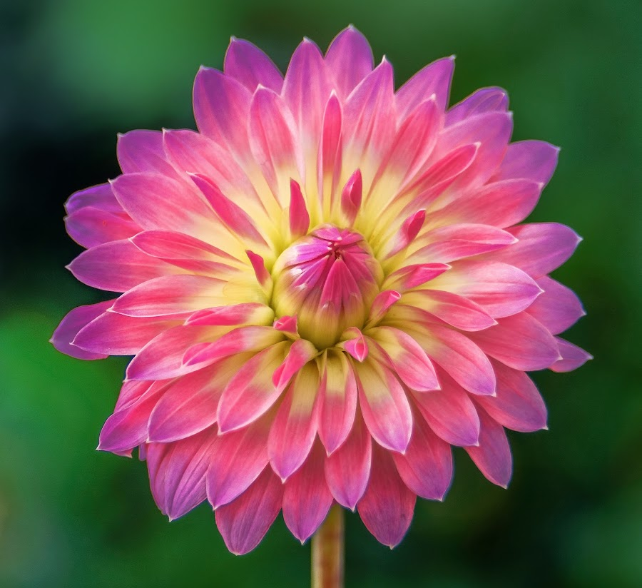 Firecracker Dahlia by Jim Downey - Flowers Single Flower ( magenta, green, dahlia, yellow, purple )