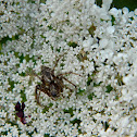 Oxyopes lynx spiders