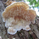 Milk-white Toothed Polypore