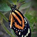 Tiger-Mimic Queen