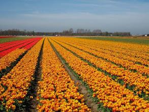 Photo: Champs de tulipes dans les environs de Lisse.