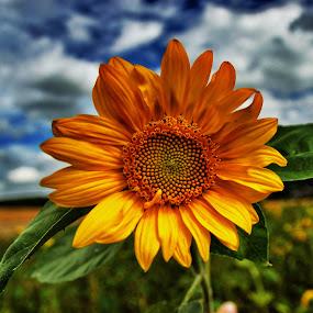 Sunflower! by Olaf Pohling - Instagram & Mobile Other ( field, sunflower, blue heaven, summer, germany, flower, sun )