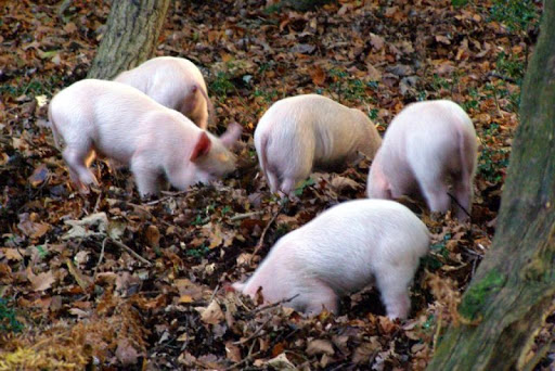 Piglets Wallpapers HD FREE