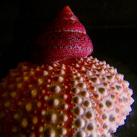 Strawberry Top on Urchin by Dave Walters - Artistic Objects Still Life ( sea life, sea shells, mystical, nature, colors, lumix fz2500 )