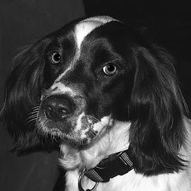 Mono Max by Chrissie Barrow - Black & White Animals ( monochrome, springer spaniel, black and white, pet, ears, fur, dog, nose, mono, portrait, animal, eyes )