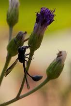 Photo: A wasp Uma vespa