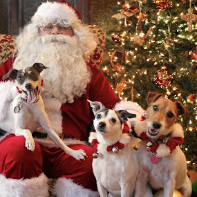 Happy Howlidays! by Julie Anderson - Public Holidays Christmas ( pwcholidays, christmas santa jack russell terrier )