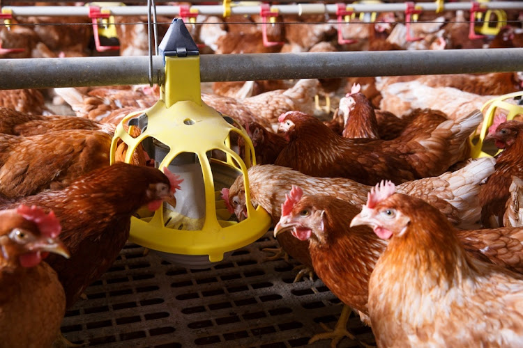 Kevin Lovell' CEO of the SA Poultry Association said the disease is introduced to poultry by wild birds. File photo.