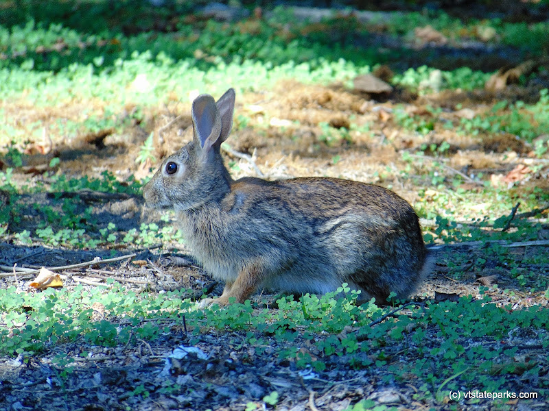 Photo: A close-up photograph of a rabbit at DAR State Park by Belinda Lafountain