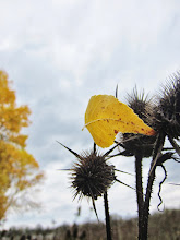 Photo: Yellow autumn leaf caught in some thistles at Eastwood Park in Dayton, Ohio.