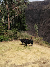 Photo: Surprise, livestock on the path