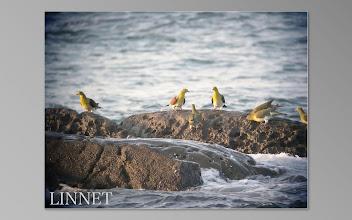 Photo: アオバト  ハト目 ハト科  ( Japanese Green Pigeon )