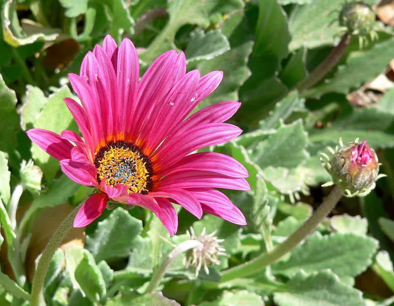 purple daisies flowers