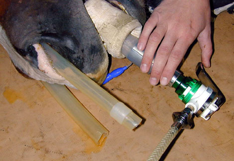 Placement of a nasopharyngeal tube in a horse recovering from anesthesia. An O2 line is placed in the tube for the early recovery period.
