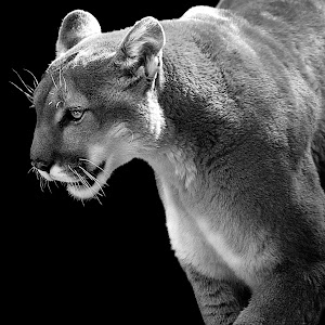 Cougar Left retake5 adjust final bw.jpg