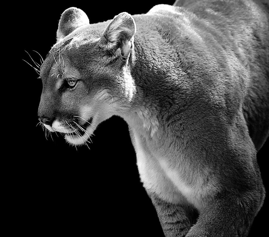 Cougar Country by Shawn Thomas - Black & White Animals