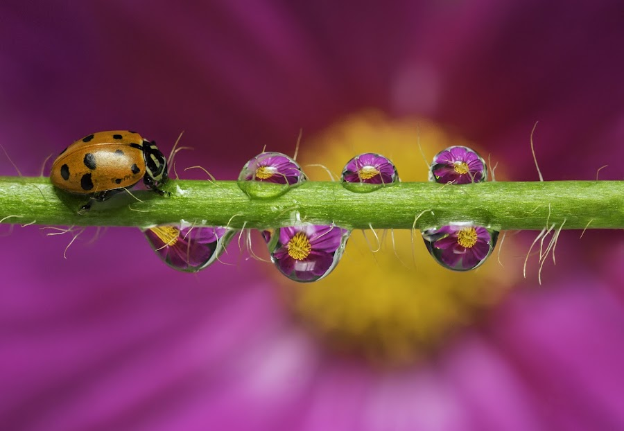 Here Comes the Lady by Liza Rock - Nature Up Close Natural Waterdrops ( macro, reflection, nature, dew, summer, bug, cosmos, ladybug, insect, lady bug, flowers, refraction, spring, rain, droplets )