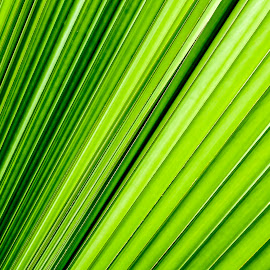 Lines by Hasanul Islam - Abstract Patterns ( abstract, texture, green, leaf, leaves, close up, singapore, hasanul islam photography, photography, fujifilm x, palm, 0hasanul0, details, nature, hasanul islam, outdoor, fujifilm, natural, fujifilm x-series, my style )