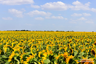 Photo: On one of our back road trips, we came across this large field of sunflowers just outside of Celina, Texas.