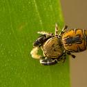 Rhene Jumping Spider