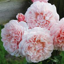 Photo: Kletterrose Rose de Tolbiac ®, Züchter: W. Kordes' Söhne 2013