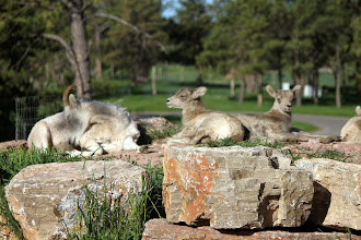 Photo: 07/06/2013 - Bear Country Park, Rapid City, South Dakota - Mother Mountain Goat and the kids..
