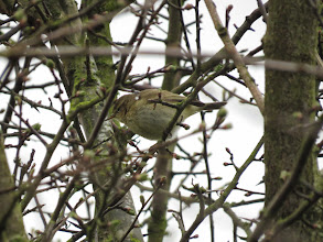 Photo: Priorslee Lake Getting better: a recognisable warbler photo. This non-singing (and presumable female) bird was helpfully tail-dipping to confirm its identity as a Chiffchaff. The rather weak supercilium, the obvious white crescent under the eye and the way the buffy-brown marks on the breast extend along the flanks all help separate from Willow Warbler. (Ed Wilson)