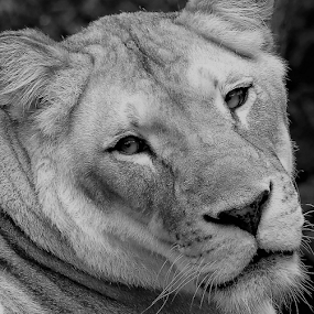 Look Lion! by Paul S. DeGarmo - Black & White Animals ( look, lion, sad, lonely, close,  )
