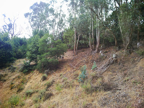 Photo: Removing all the eucalypti and treating the stumps with herbicide will allow the stunted trees here to thrive.