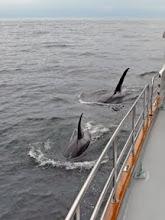 Photo: Killer Whales Visiting
