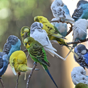 The Conference of the Birds by Victoria Eversole - Animals Birds ( colorful birds, budgies, atlanta zoo, aviaries )