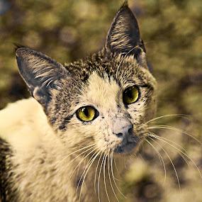 Green-Eyed Felix by Bong Flores - Animals - Cats Portraits ( cat, green, fur, eye )