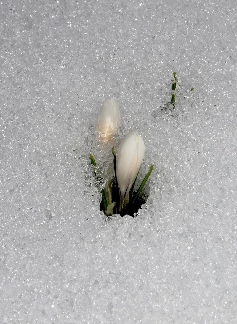 Crochi nella neve di benny48