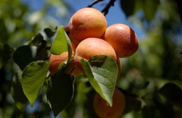 Описание абрикоса сорта Алёша