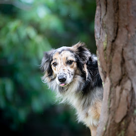 Buddy by Magdalena Sikora - Animals - Dogs Portraits ( bordercollie, border collie portrait, border collie, dog behind the tree )