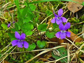 Photo: Viola (Viola flower)