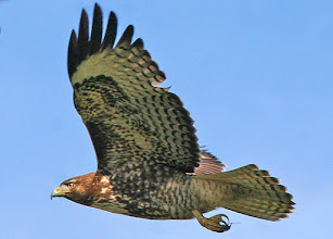 Photo: Juvenile Red Tailed Hawk over Davenport, CA