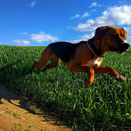 A flying Benny by Matthew Miller - Animals - Dogs Running ( dogs, hound, action, dogs playing, dogs running, puppy, dog )